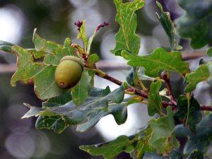 Bach bloesem Oak