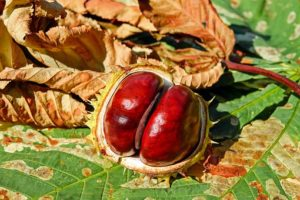 bachbloesem Red Chestnut