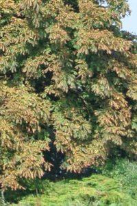 Bachbloesem White Chestnut