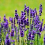 thee om te slapen met lavendel