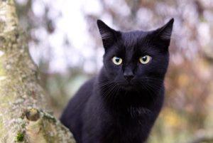 Maagd-kat