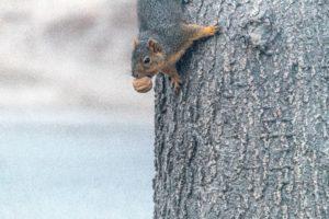 Walnut met eekhoorn
