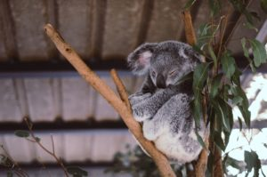 De geneeskrachtige werking van Eucalyptus