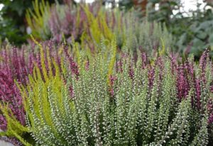 Bachbloesem Heather