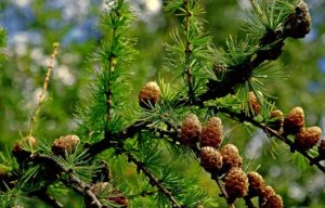 Bach bloesem Larch