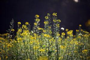 Mustard-bachbloesem