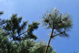 Bachbloesem Pine