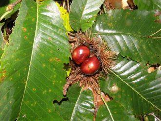 Bach bloesem Sweet Chestnut