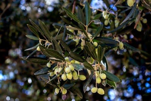 olive bachbloesem