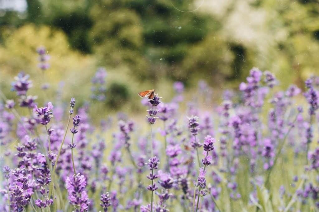 Wat helpt tegen stress? De rustgevende geur van lavendel!
