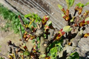 bachbloesem chestnut bud