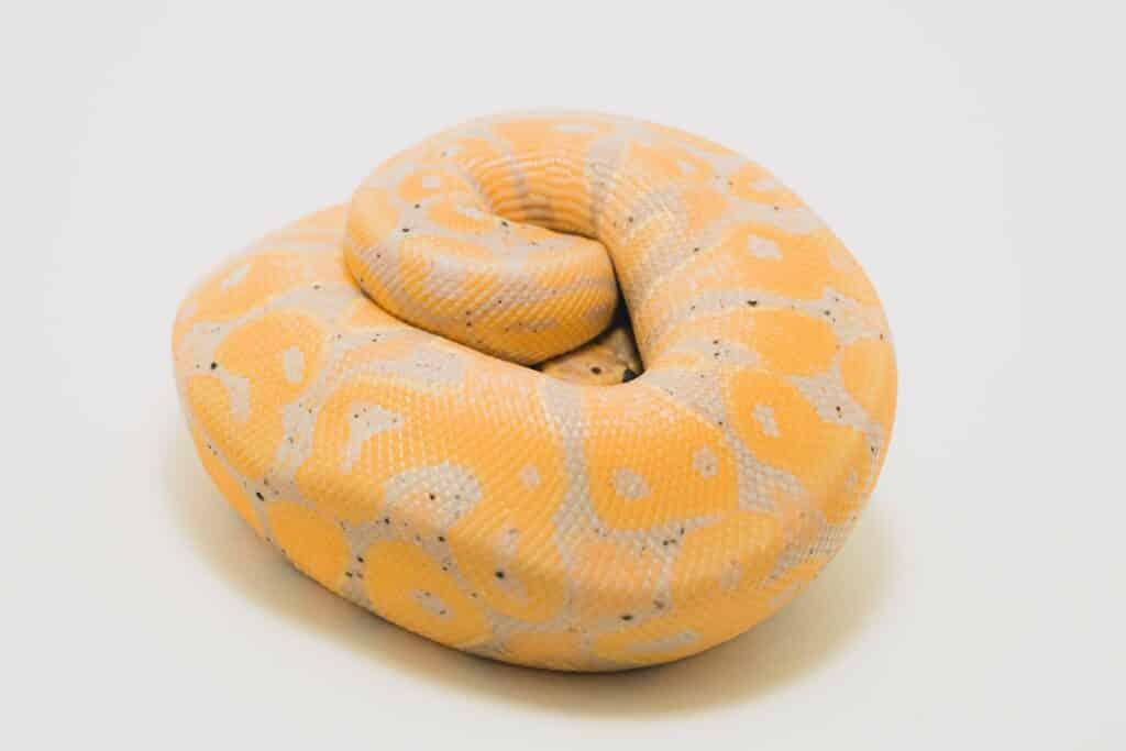 een typische opgerolde slang