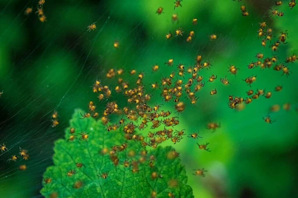 een verzameling baby spinnen zoals deze wordt gezien als teken van een nieuw begin
